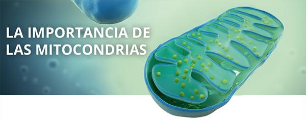 La importancia de las mitocondrias en nuestra salud